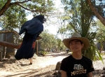 boi-at-billabong-sanctuary-townsville-not-sure-about-the-big-black-bird
